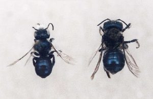 Top view of the male (left) and female (right) Maine blueberry bee, Osmia atriventris.