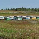Bee hives in blueberry field.