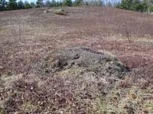 Mound structure in wild blueberry field.