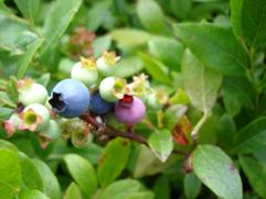 Fruit size increases and begins to turn blue.