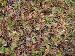 Leaf drop occurs after killing frost.