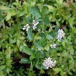 Aronia melanocarpa flower detail