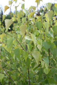 Betula populifolia young leaves
