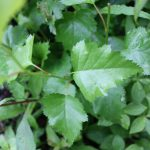 Betula populifolia seedling