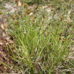 Carex scoparia early June