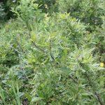 Comptonia peregrina bush