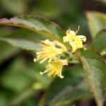 Diervilla lonicera flowers