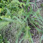 Panicum capillare late July