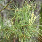 Pinus strobus in flower, May