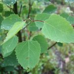 Populus grandidentata leaves are toothed