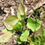 Populus tremuloides seedling