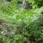 Pteridium aquilinum fronds usually divided into three parts