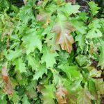 Quercus rubra shade leaves