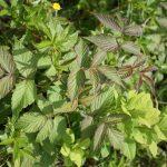 Rubus idaeus divided leaves