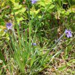 Sisyrinchium montanum early June
