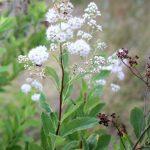 Spiraea alba var latifolia white flowers