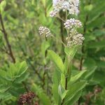 Spiraea alba var latifolia open inflorescence