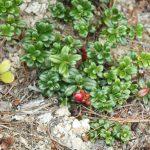 Vaccinium vitis-idaea ssp minus1