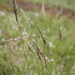 Anthoxanthum odoratum in flower