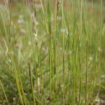 Anthoxanthum odoratum leaves and stems