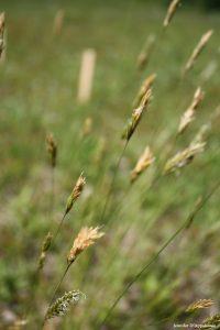 Anthoxanthum odoratum mid-June