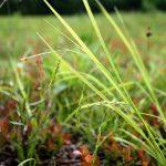 Carex arctata inflorescence