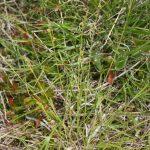 Carex communis early June