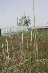 Festuca species