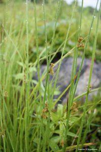 Juncus effusus inflorescence