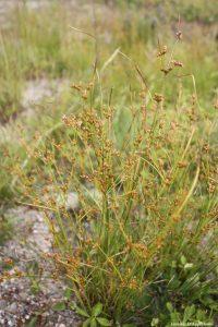 Juncus tenuis early July