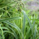 Scirpus cyperinus emerging inflorescence