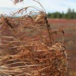 Scirpus cyperinus last year's inflorescence