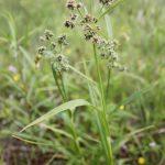 Scirpus hattorianus mid-June