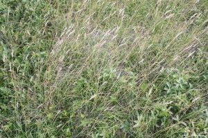 Danthonia spicata