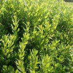 Myrica gale small plants
