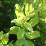 Myrica gale leaves