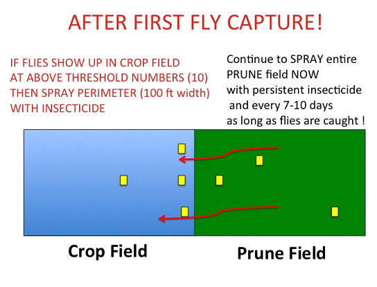 Prune field blueberry maggot fly management - after first fly capture
