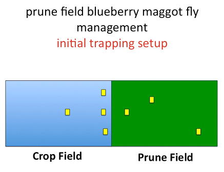 Prune field blueberry maggot fly management - initial trapping setting
