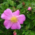 Rosa carolina in flower, late June