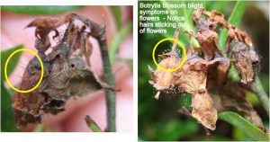 Botrytis blossom blight symptoms on flowers. Notice hairs sticking out of flowers.