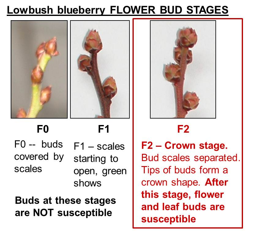 Lowbush Blueberry flower bud stages: F0 - buds covered by scales; F1 - scales starting to open, green shows; F2 - Crown Stage.Bud scales separated. Tips of buds form a crown shape. After this stage, flower and leaf buds are susceptible. Buds at F0 and F1 are not susceptible.
