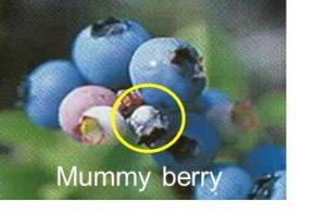 mummy berry