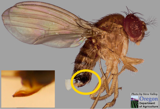 Photo of female SWD showing ovipositor in yellow circle and a close up lower left panel