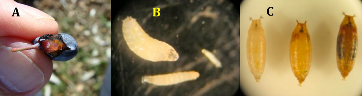 Berry with larva inside (A), close up of larvae (B), close up of non-feeding pupa stage (C)