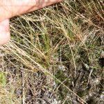 Agrostis capillaris