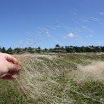 Agrostis capillaris inflorescence