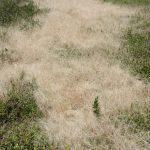 Agrostis capillaris late August