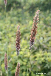 Alopecurus pratensis early June