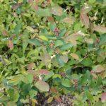 Aronia prunifolia mid-June