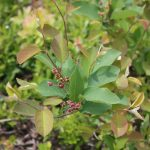 Aronia prunifolia has pubescence on new growth